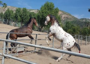 Courtship Ranch, horse boarding, Burbank, Sylmar, horse training, riding lessons, LA